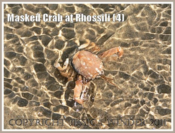 A living Masked Crab, Corystes cassivelaunus (Pennant), seen through the clear, sun dappled, rippled water as as the tide washed over it, Rhossili, Gower, South Wales (4)