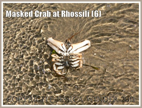 Living Masked Crab, Corystes cassivelaunus (Pennant), bowled over backwards by an incoming wave, Rhossili, Gower, South Wales (6)