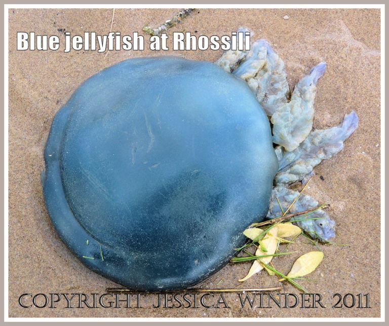 Barrel-mouthed jellyfish: The blue dome of the Dustbin-lid Jellyfish, Rhizostoma octopus (Linnaeus),  stranded at Rhossili Bay, Gower, South Wales. UK (2)