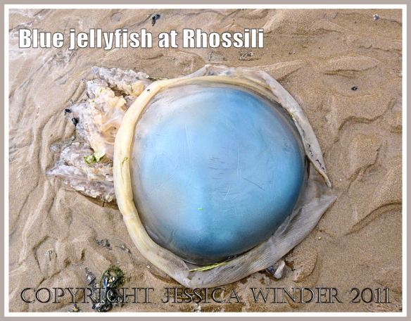 The blue dome of the Dustbin-lid Jellyfish, Rhizostoma octopus (Linnaeus),  stranded at Rhossili Bay, Gower, South Wales. UK (3)