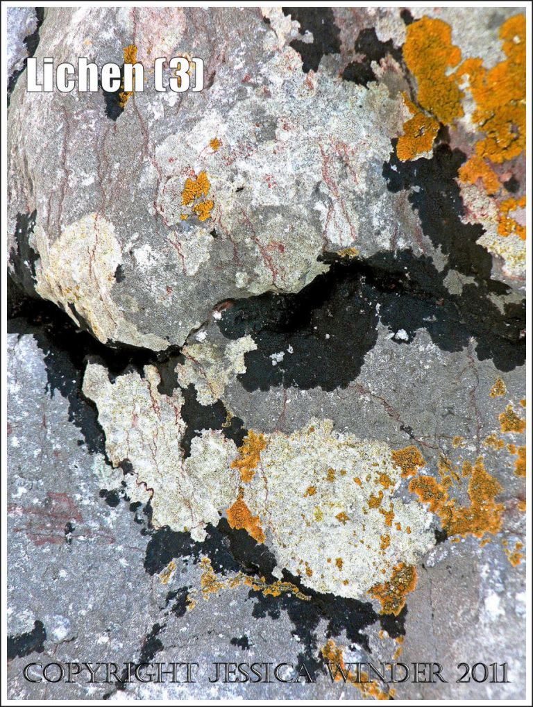 Lichen pattern: Abstract pattern of orange, black, and white lichens on grey limestone rock at the beach, Port Eynon, Gower, South Wales (3)