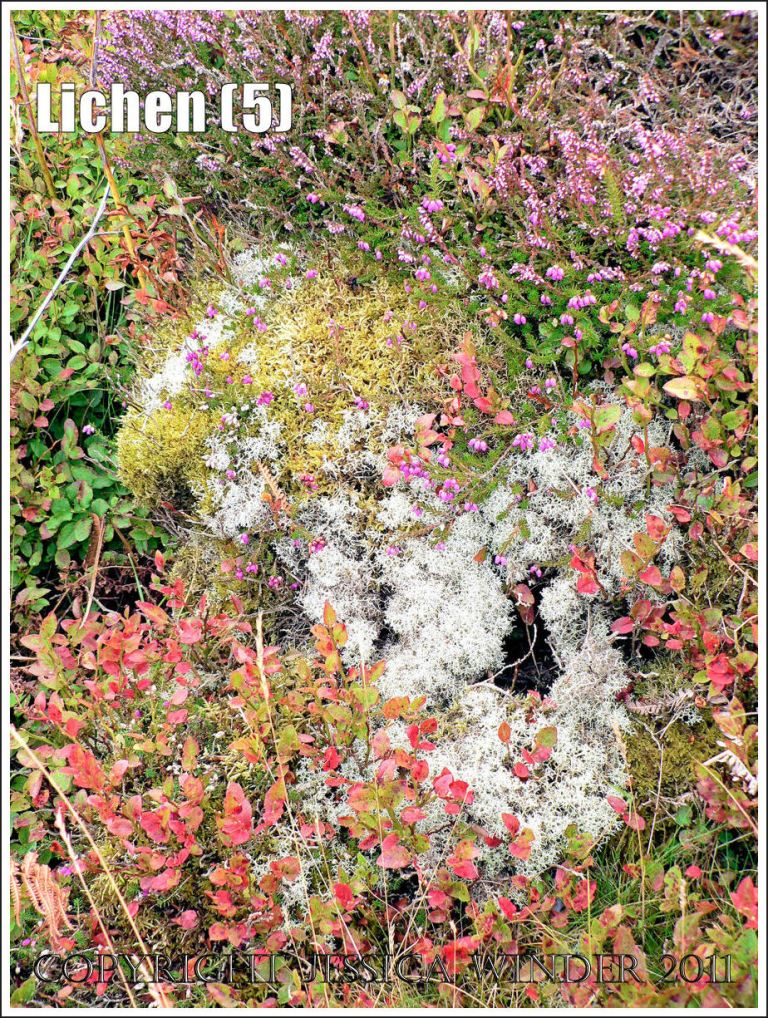 Lichen patterns: Abstract pattern of pale grey Reindeer Lichen surrounded by green moss, pink ling and heather flowers, and small red leaves, Rhossili Down, Gower, South Wales (5)