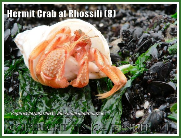 Hermit Crab (Pagurus bernhardus) emerging from a Common Whelk shell (Buccinum undatum) at Burry Holms, Rhossili, Gower, South Wales (8)