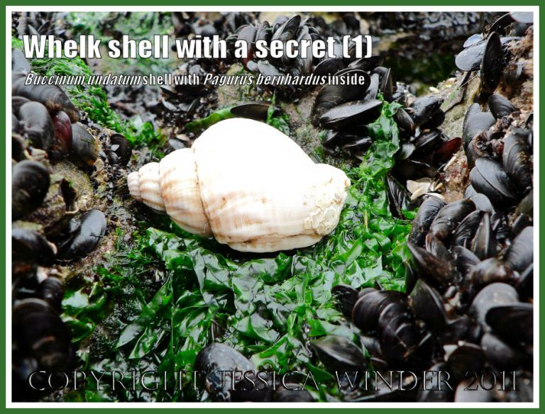 Seashell with a secret. Common Whelk shell (Buccinum undatum) in which a Hermit Crab (Pagurus bernhardus) is living on Burry Holms, Rhossili, Gower, South Wales (1)