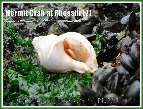 Hermit Crab (Pagurus bernhardus) emerging from a Common Whelk shell (Buccinum undatum) at Burry Holms, Rhossili, Gower, South Wales(2)