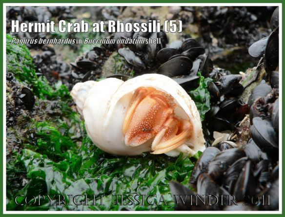 Hermit Crab (Pagurus bernhardus) emerging from a Common Whelk shell (Buccinum undatum) at Burry Holms, Rhossili, Gower, South Wales (5)