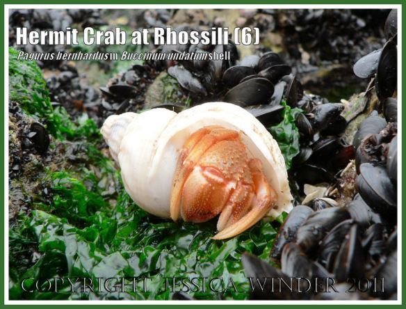 Hermit Crab (Pagurus bernhardus) emerging from a Common Whelk shell (Buccinum undatum) at Burry Holms, Rhossili, Gower, South Wales (6)