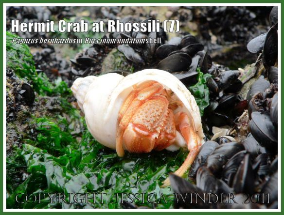 Hermit Crab (Pagurus bernhardus) emerging from a Common Whelk shell (Buccinum undatum) at Burry Holms, Rhossili, Gower, South Wales (7)