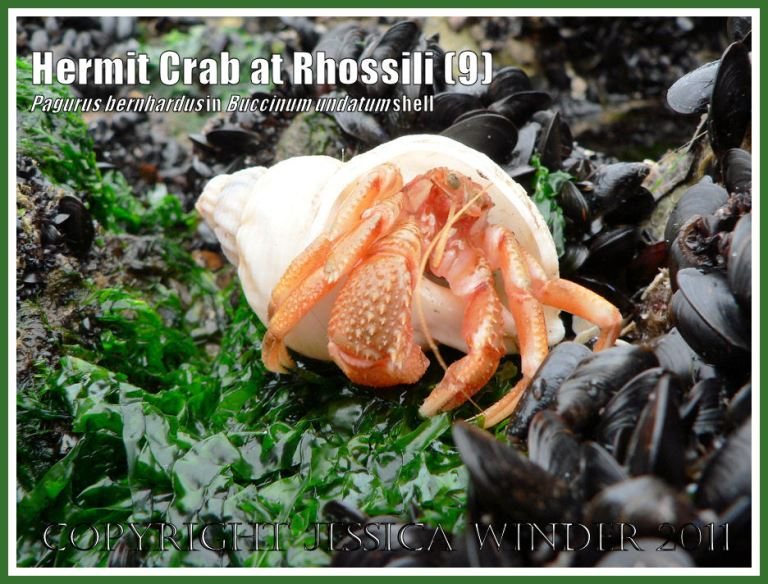 Hermit Crab (Pagurus bernhardus) emerging from a Common Whelk shell (Buccinum undatum) at Burry Holms, Rhossili, Gower, South Wales (9)