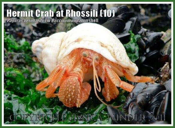 Hermit Crab (Pagurus bernhardus) emerging from a Common Whelk shell (Buccinum undatum) at Burry Holms, Rhossili, Gower, South Wales (10)