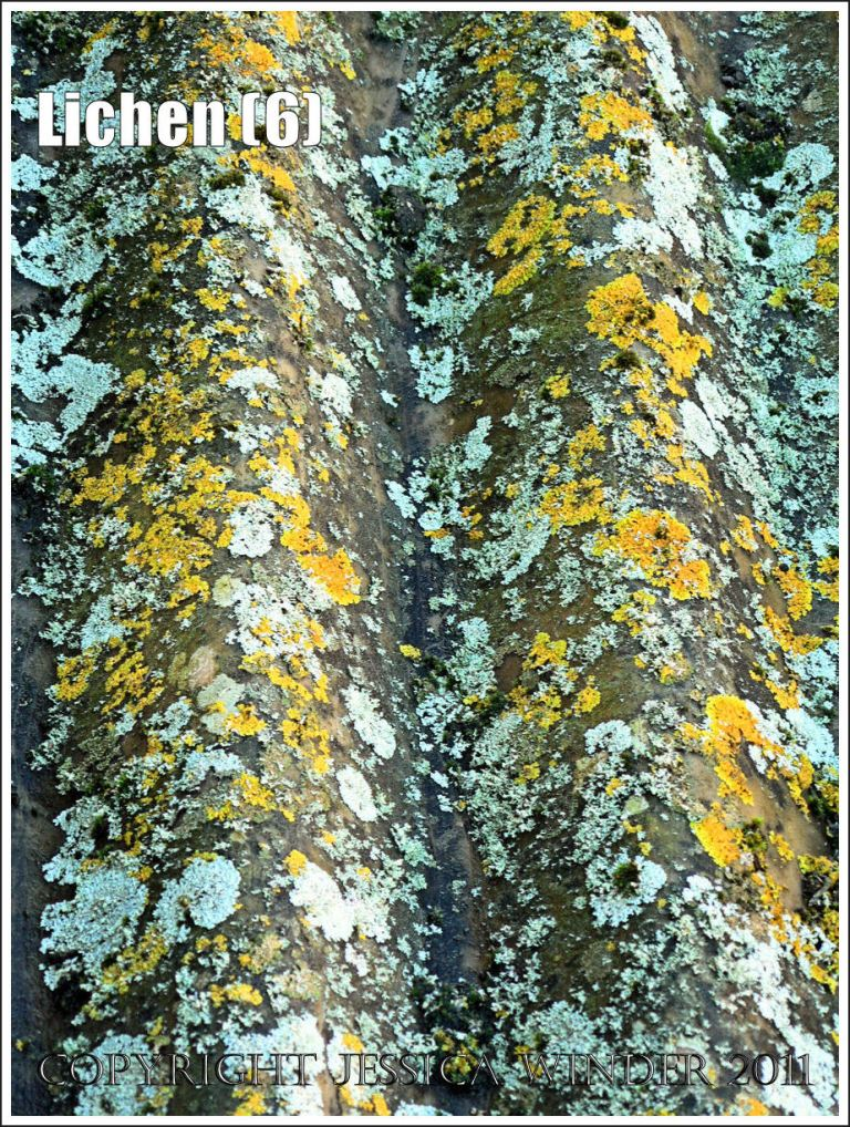 Lichen patterns: Abstract pattern of yellow and pale blue-green lichens on currugated iron, Charlton Down, Dorset, UK (6)