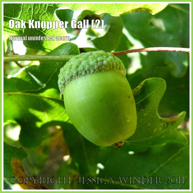 Uninfested acorn without gall: Normal uninfested acorn on Oak, unaffected by the egg-laying activities of the Andricus quercuscalcis wasp. (2)
