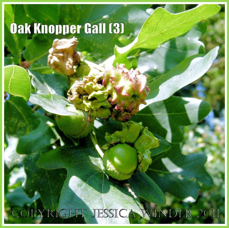 Galls on Oak trees: Acorn Knopper Galls on acorns: abnormal growths caused by the wasp Andricus quercuscalcis (3)