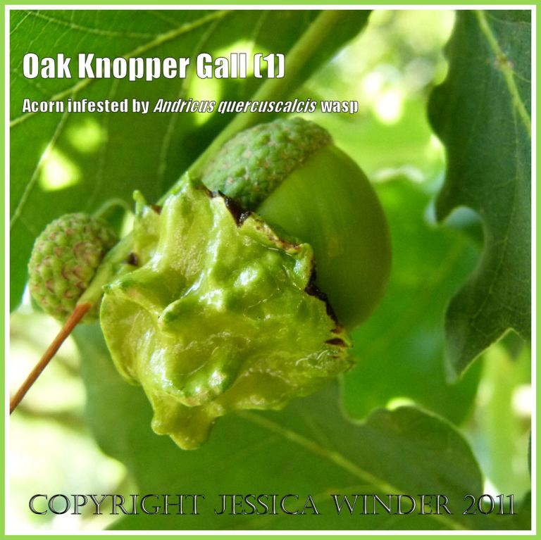 Acorn Knopper Gall on Oak, caused by the wasp Andricus quercuscalcis laying eggs in the growing tissues of the tree. (1)