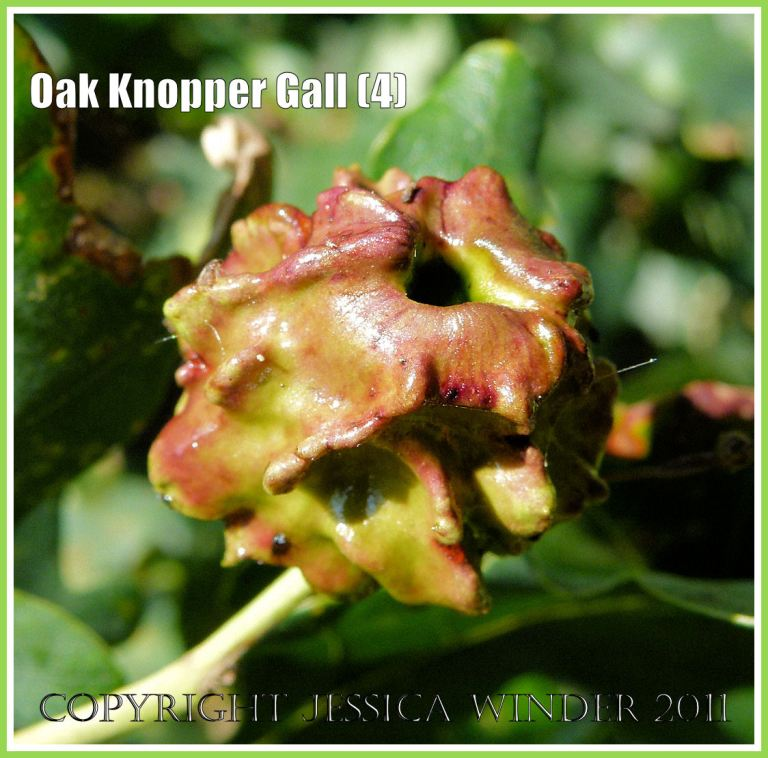 Acorn Knopper Gall on acorns: abnormal growth caused by the wasp Andricus quercuscalcis (3)