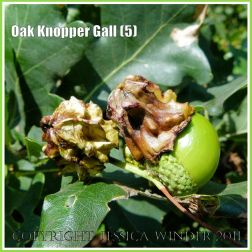 Acorn Knopper Galls on acorns: abnormal growths caused by the wasp Andricus quercuscalcis (5)