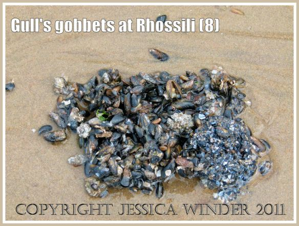 A gobbet of tiny juvenile first year mussel shells (Mytilus edulis) regurgitated by a seagull on Rhossili beach, Gower, South Wales, UK (8)