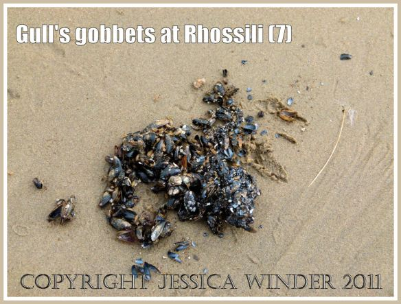 A gobbet of tiny juvenile first year mussel shells (Mytilus edulis) regurgitated by a seagull on Rhossili beach, Gower, South Wales, UK (7)