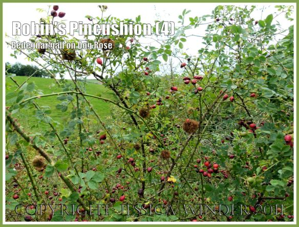 Robin's Pincushions, Bedeguar Galls, or Moss Galls caused by the developing larvae of the small wasp Diplolepsis rosae in wild Dog Rose. Charlton Down, Dorset, UK, October 2011 (4)