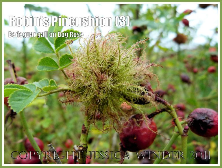Robin's Pincushion, Bedeguar Gall, or Moss Gall caused by the developing larvae of the small wasp Diplolepsis rosae in wild Dog Rose. Charlton Down, Dorset, UK, October 2011 (3)