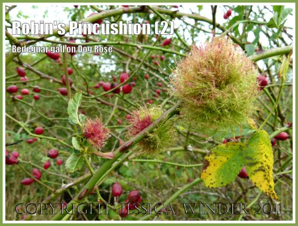 Moss Galls amongst the Rose Hips: Robin's Pincushions, Bedeguar Galls, or Moss Galls caused by the developing larvae of the small wasp Diplolepsis rosae in wild Dog Rose. Charlton Down, Dorset, UK, October 2011 (2)