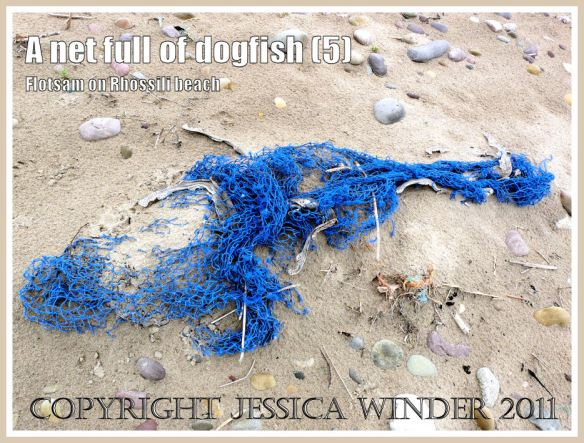 Dead catch of fish in net on the beach: Dead Dogfish in a blue fishing net on the sandy Rhossili strandline, Gower, South Wales, UK (5)