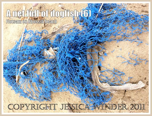 Blue net with dead fish on the beach: Dead Dogfish in a blue fishing net on the sandy Rhossili strandline, Gower, South Wales, UK (6)
