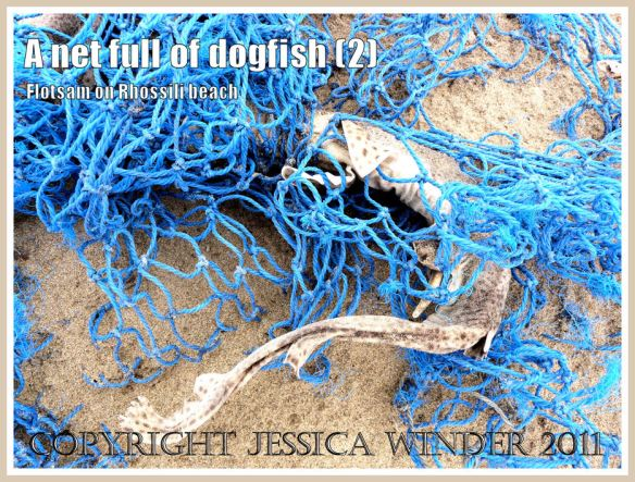 Fish in blue net:: Dead Dogfish in a blue fishing net on the sandy Rhossili strandline, Gower, South Wales, UK (2)