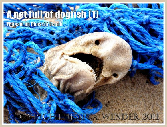 Scyliorhinus caniculus (L.): Dead Dogfish in a blue fishing net on the sandy Rhossili strandline, Gower, South Wales, UK (1)