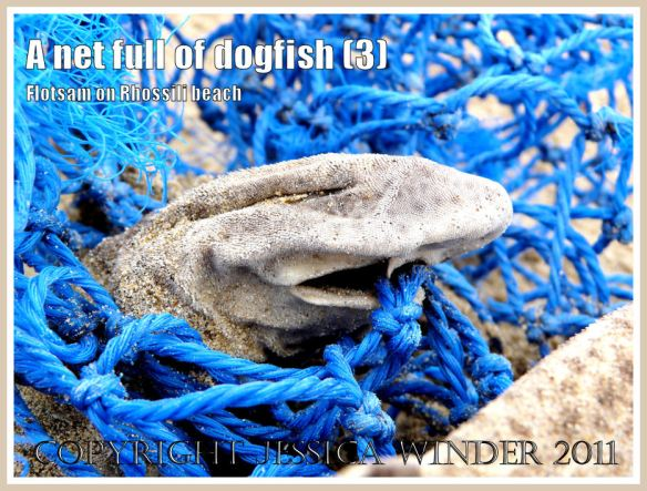 Lesser Spotted Dogfish: Dead Dogfish in a blue fishing net on the sandy Rhossili strandline, Gower, South Wales, UK (3)