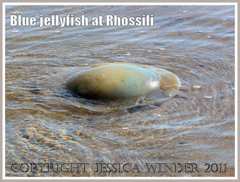 A Dustbin-lid Jellyfish, Rhizostoma octopus (Linnaeus), drifting ashore at Rhossili Bay, Gower, South Wales, UK (4)