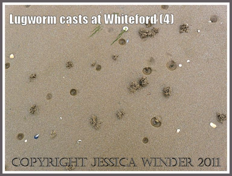 Lugworm casts at Whitefprd Sands: Natural pattern of lugworm casts and burrows in damp sediments on the seashore at Whiteford Sands, Gower, South Wales (4)