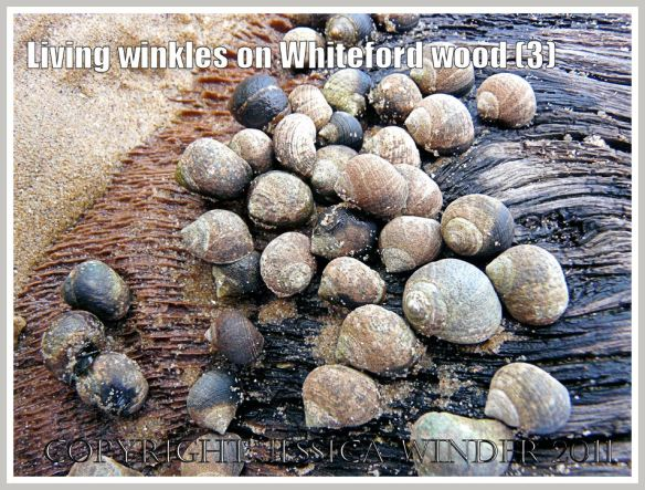 Winkles on wood at Whiteford Sands: Common winkles, Littorina littorea (Linnaeus), grazing on ancient wood at Whiteford Sands, Gower, South Wales, UK (3)