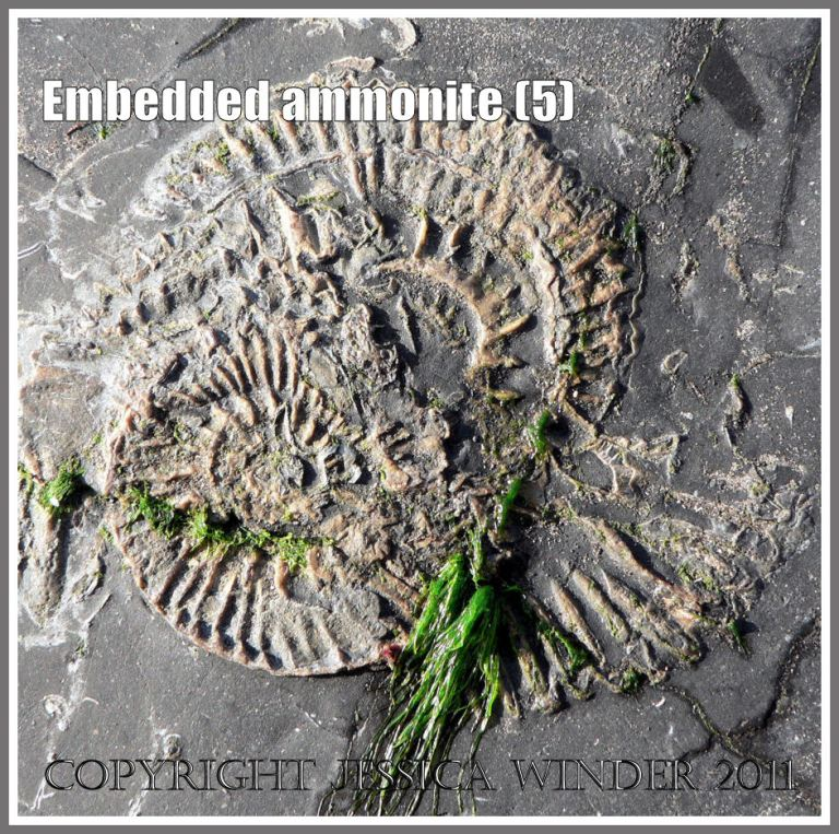 Ammonite fossils embedded in rock on the Jurassic Coast, Dorset, UK - spiral patterns in nature (5)