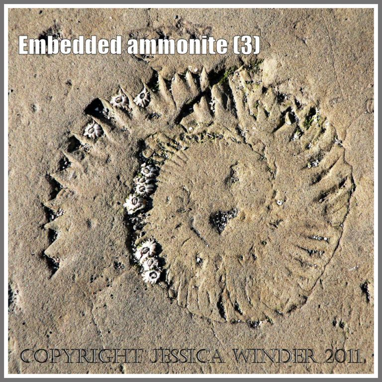 Ammonite fossil (with barnacles attached) embedded in rock on the Jurassic Coast, Dorset, UK, - a spiral pattern in nature (3)