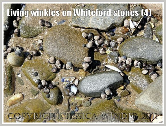 Living winkles on pebbles: Common winkles, Littorina littorea (Linnaeus), grazing on alga-covered pebbles at Whiteford Sands, Gower, South Wales, UK (4)