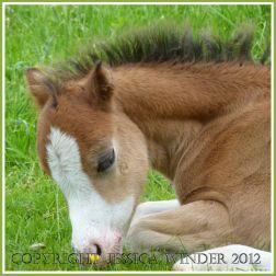 Gower Foal 3