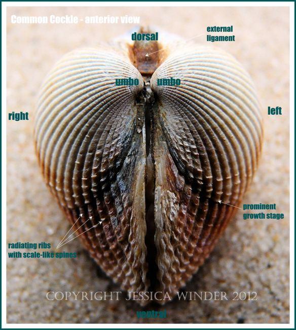 Common Cockle - anterior view
