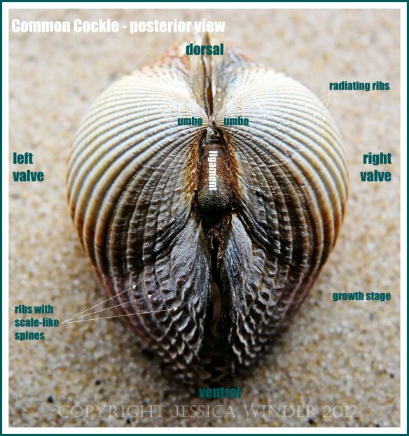Common Cockle - posterior view