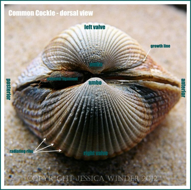 Common Cockle - dorsal view