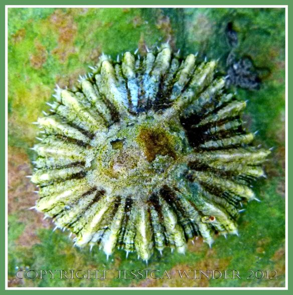 Tidepool Limpet on the Worms Head Causeway