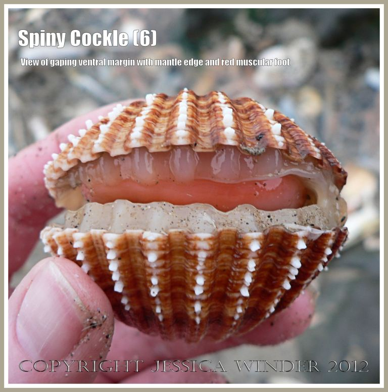 Spiny Cockle 6 - Holding a living Spiny Cockle in which the two valves of the shell are gaping to reveal the translucent white fleshy mantle and the red muscular foot within. The shell of Acanthocardia aculeata L. is much larger than the Common Edible Cockle and is often tinted reddish brown. Rhossili Bay, Gower, South Wales.