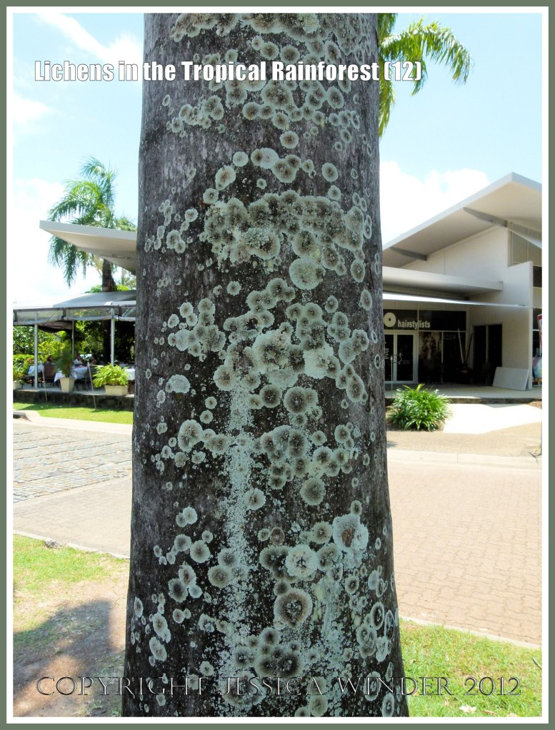 Lichens in the Tropical Rainforest (12) - Natural patterns of lichens on the bark of a tree in the street near Trinity Beach, Far North Queensland, Australia - in the wet tropics.