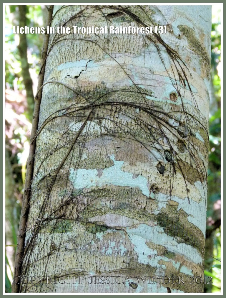 Lichens in the Tropical Rainforest (3) - The natural pattern made by lichens of different colours and species on a tree trunk in the tropical rainforest of Queensland, Australia.
