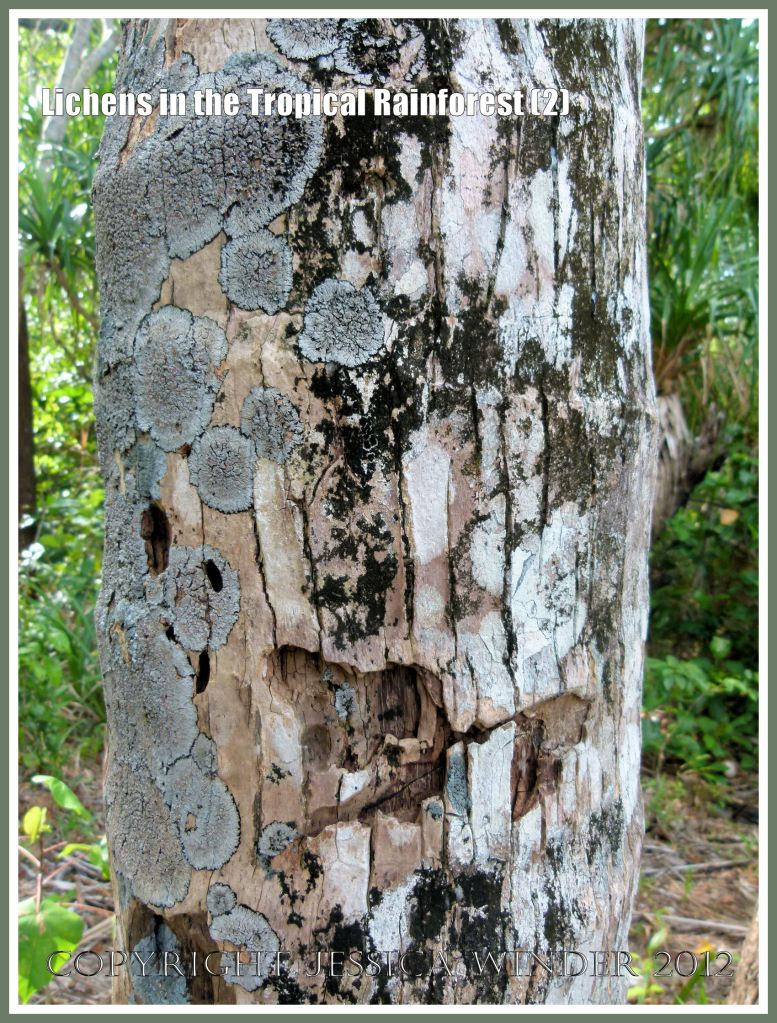 Lichens in the Tropical Rainforest (2) - The natural pattern made by lichens of different colours and species on different aspects of a tree trunk in the tropical rainforest of Queensland, Australia.
