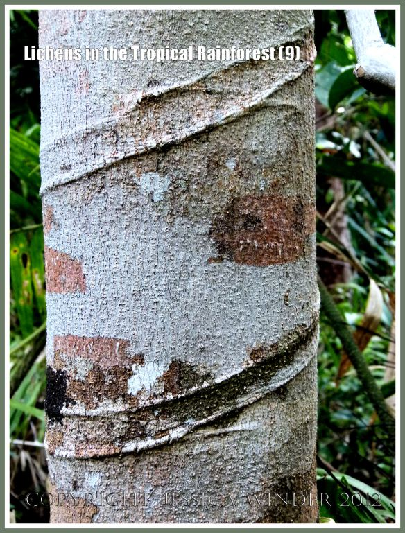 Lichens in the Tropical Rainforest (9) - The natural pattern made by lichens of different colours and species on a tree trunk (bearing a spiral groove where a vine had once been attached) in the tropical rainforest of Queensland, Australia.