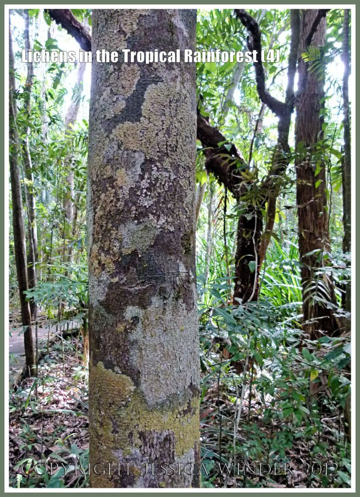 Lichens in the Tropical Rainforest (4) - The natural pattern made by lichens of different colours and species on a tree trunk in the tropical rainforest of Queensland, Australia.