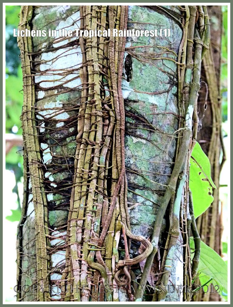 Lichens in the Tropical Rainforest (1) - Lichens and vines growing on the trunk of a tree in the tropical rainforest of Far North Queensland, Australia.