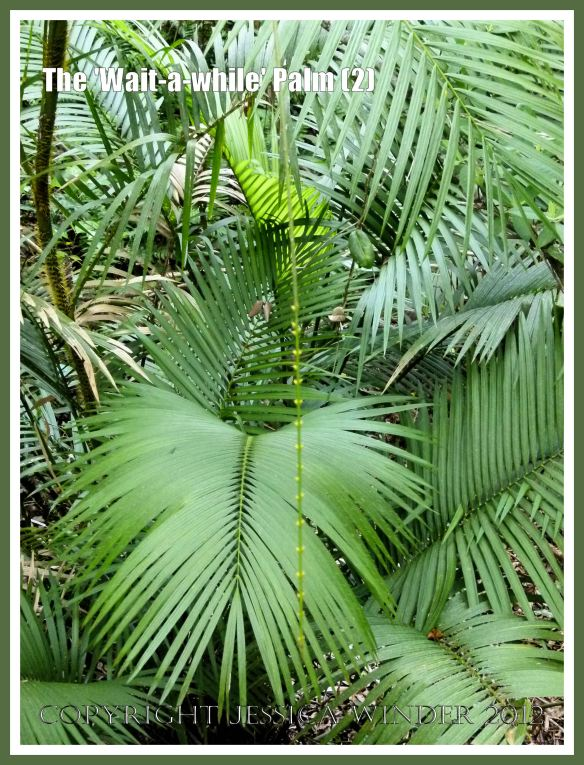 The 'Wait-a-while' Palm (2) - The 'Wait-a-while' palm, also known as Yellow Lawyer Cane palm, (Calamus motii) , has special sharp hooks or spines on the stems, leaves, and the long thin whip-like flagella, that enable the plant to climb high up into the canopy  of the Daintree tropical rainforest, Barron Gorge National Park, Queensland, Australia.