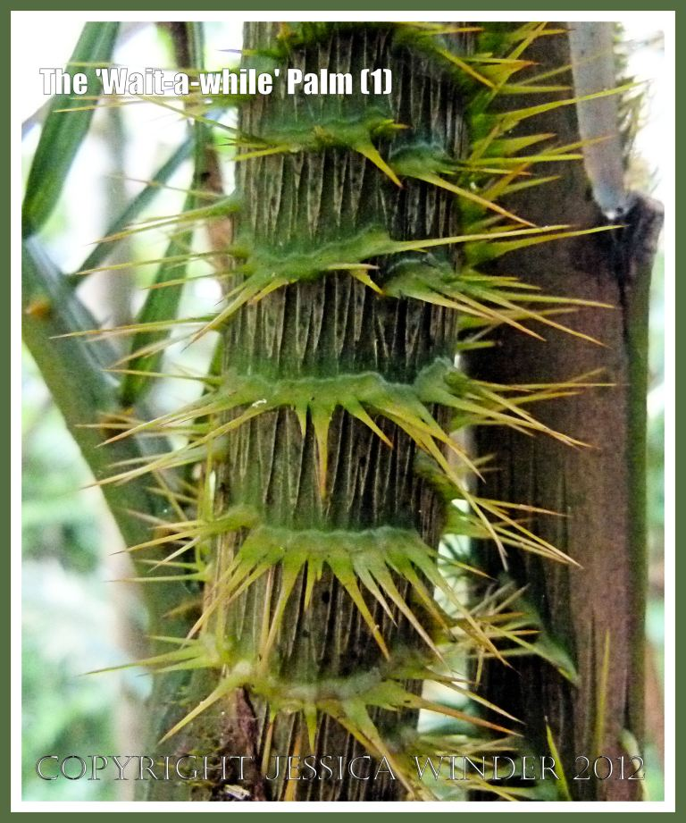 The 'Wait-a-while' Palm (1) - Wicked-looking sharp spines on the stem of the 'Wait-a-while' or Yellow Lawyer Cane Palm (Calamus motii) in the Daintree tropical rainforest, Barron Gorge National Park, Queensland, Australia.
